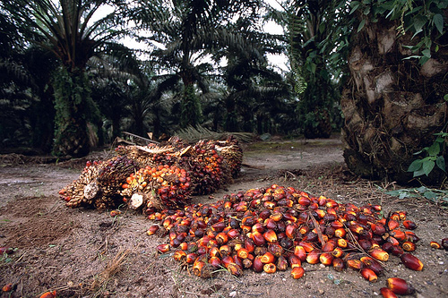 oil-palm-harvesting